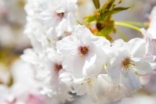 桜の写真素材 [FYI00264705]