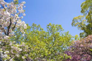 新緑と桜と青空の写真素材 [FYI00264706]