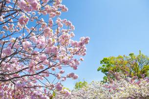 青空と桜の写真素材 [FYI00264707]