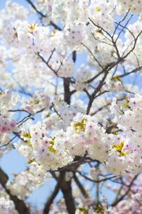 桜の写真素材 [FYI00264711]