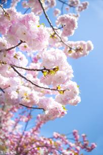 満開の桜と青空の写真素材 [FYI00264714]