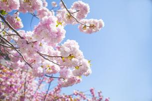青空と満開の桜の写真素材 [FYI00264715]