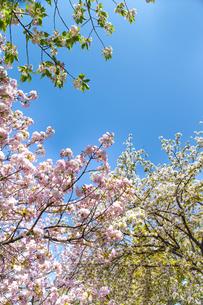 青空と桜の写真素材 [FYI00264718]