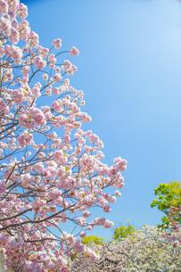 青空と桜の写真素材 [FYI00264721]