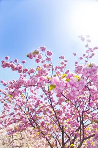 桜と青空の写真素材 [FYI00264723]