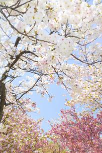 色とりどりの桜の写真素材 [FYI00264726]