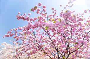 満開の桜の写真素材 [FYI00264727]
