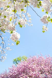 青空と桜の写真素材 [FYI00264728]