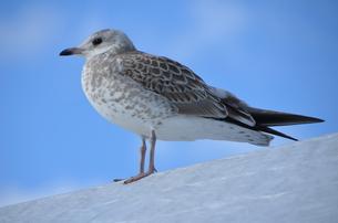 ヨーロッパの鳥の写真素材 [FYI00265227]