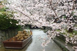 桜の高瀬川の写真素材 [FYI00265255]