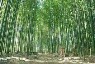 嵯峨野の竹林の写真素材 [FYI00265259]