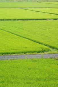 緑の田んぼの写真素材 [FYI00265281]