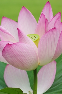 ハスの花の写真素材 [FYI00265352]