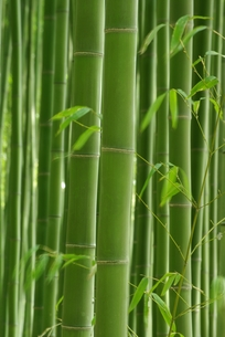 竹林の写真素材 [FYI00265360]