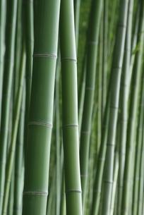 竹林の写真素材 [FYI00265365]
