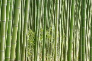 嵯峨野の竹林の写真素材 [FYI00265373]