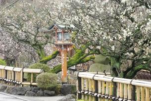 祇園白川の白梅の写真素材 [FYI00265384]