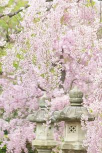 枝垂れ桜の写真素材 [FYI00265397]