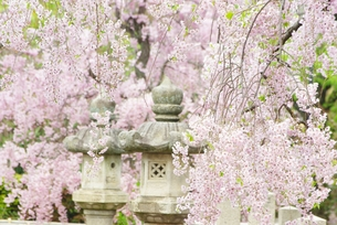 枝垂れ桜の写真素材 [FYI00265398]