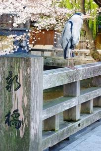 祇園新橋のアオサギの写真素材 [FYI00265402]
