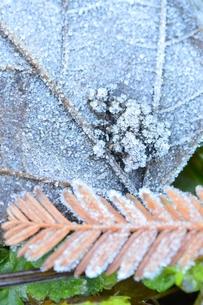 霜のついた落葉の写真素材 [FYI00265412]