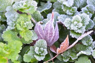 霜のついた葉の写真素材 [FYI00265418]