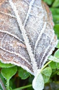 霜のついた落葉の写真素材 [FYI00265428]