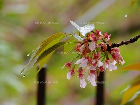 大沢桜の素材 [FYI00265506]