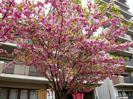 松前琴糸桜の写真素材 [FYI00265512]