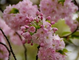 簪桜の写真素材 [FYI00265524]