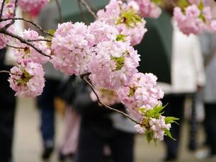 簪桜の写真素材 [FYI00265534]