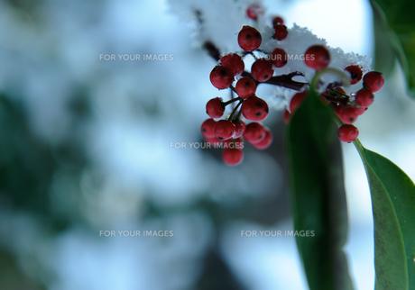 真っ赤な木の実の写真素材 [FYI00265544]