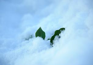 雪に埋もれた葉の素材 [FYI00265546]