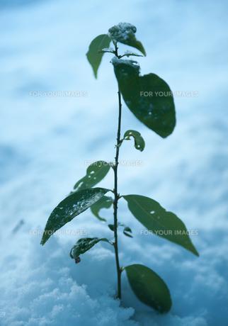 雪の上の植物の素材 [FYI00265556]