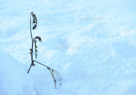 雪の上の雑草の素材 [FYI00265557]