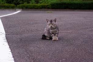育ちのいい野良猫の素材 [FYI00265594]