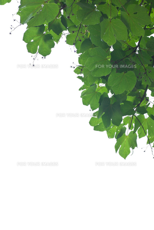 green and whiteの素材 [FYI00265607]