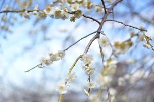 梅の写真素材 [FYI00265635]