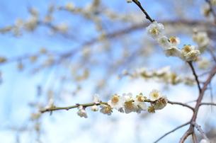 梅の写真素材 [FYI00265650]
