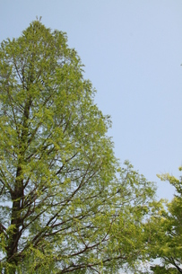 快晴の下の木の写真素材 [FYI00265922]