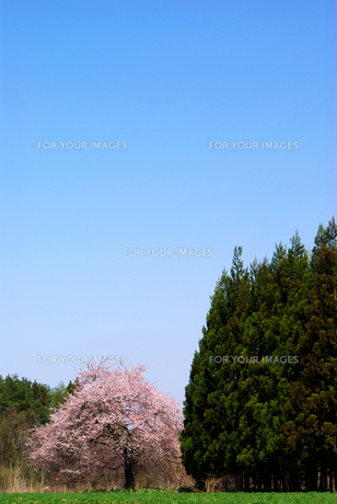 青空と桜の写真素材 [FYI00265983]
