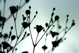 かすみ草の写真素材 [FYI00266061]