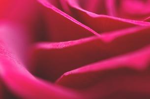 Rose close-upの写真素材 [FYI00266076]
