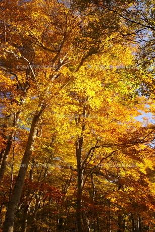 紅葉狩りの季節の写真素材 [FYI00266163]