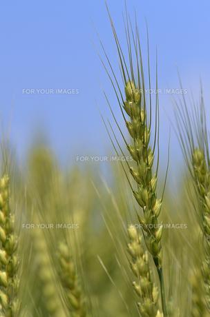 麦の写真素材 [FYI00266320]