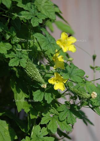 ゴーヤの花の写真素材 [FYI00266543]
