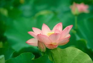 ハスの花の写真素材 [FYI00266552]