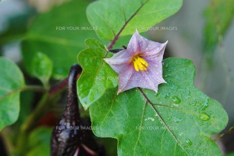 なすの花の写真素材 [FYI00266557]
