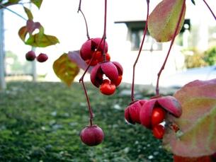 吊花マユミの真っ赤な実の写真素材 [FYI00266621]