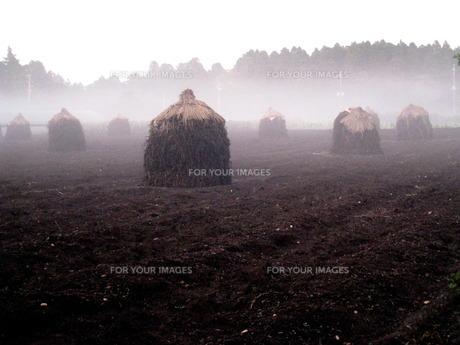 雨上がりの落花生畑の写真素材 [FYI00266663]